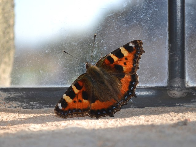 Small Tortoiseshell trapped in The Market House, Winster