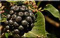 J4774 : Ivy berries, Kiltonga, Newtownards by Albert Bridge