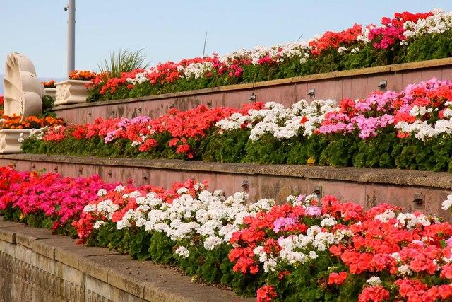Geraniums In Raised Flowerbeds 169 Steve Daniels Cc By Sa 2