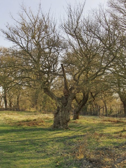 Pollarded field-maple, near Isabella Plantation, Richmond Park