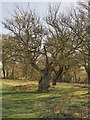 TQ2072 : Pollarded field-maple, near Isabella Plantation, Richmond Park by Stefan Czapski