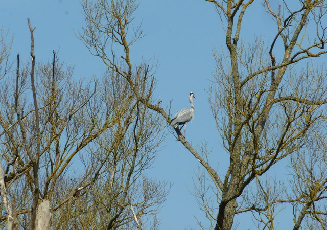 Grey heron perching near Fordwich