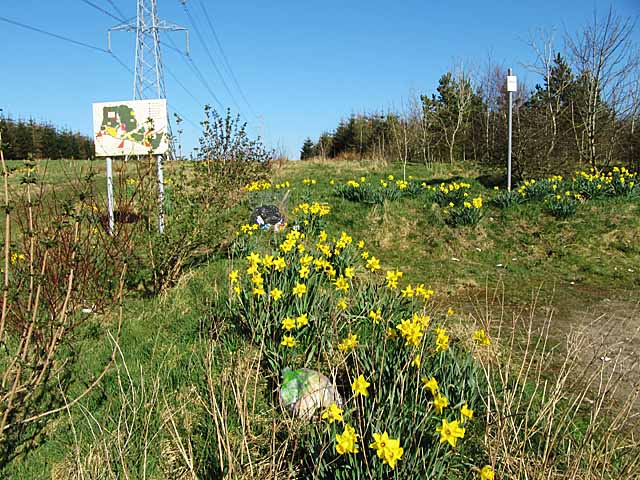 Daffodils and rubbish at Brow Woodland