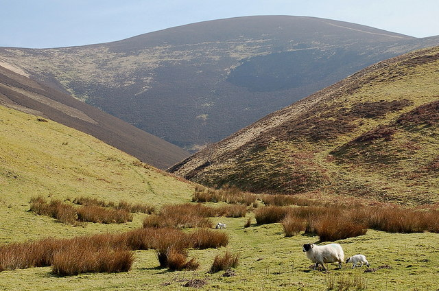 Ewe and lamb below Taberon Law, Stan Hope
