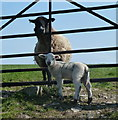 SK1984 : Ewe and lamb either side of gateway by Andrew Hill