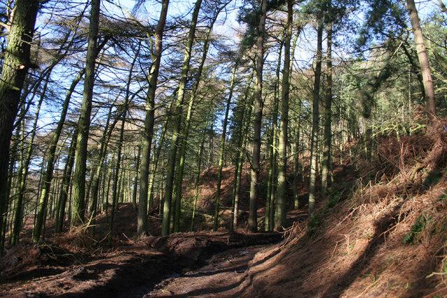 Conifer plantation beneath Raw Head