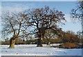 TL9061 : Pollarded Oak Trees by Paul Franks