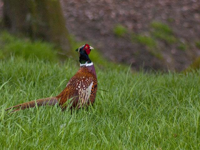 A pheasant