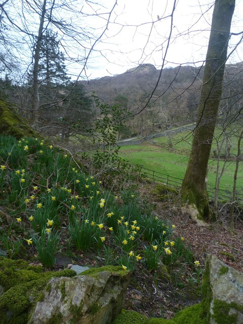 Daffodils under Loughrigg