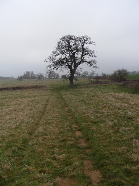 Lonely tree on the path from Brockhampton to Charlton Abbotts