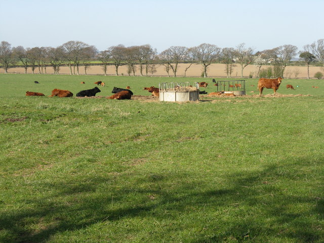 Cattle at rest near Dow Syke