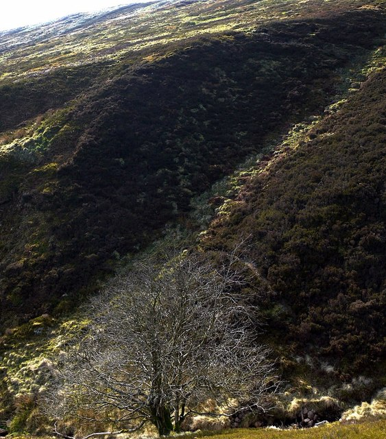 Tree by unnamed burn, south-east of Cheviot
