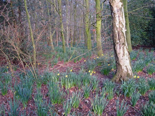 Woodland floor with daffodils
