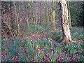 SJ8167 : Woodland floor with daffodils by Richard Dorrell