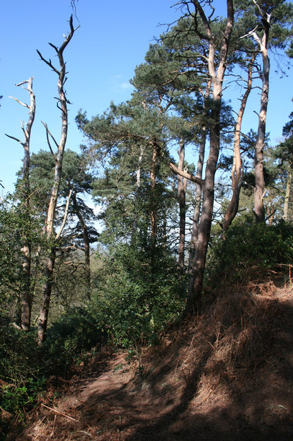 Coniferous woodland on Willow Hill