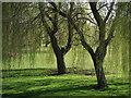 SO7594 : Weeping willows near Roughton, Shropshire : Week 13
