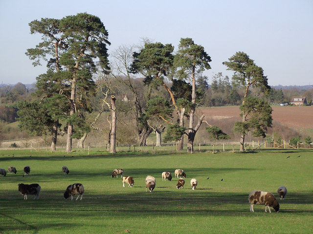 Sheep and Scots Pines at Dallicot, Shropshire