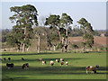 SO7794 : Sheep and Scots Pines at Dallicot, Shropshire by Roger  Kidd