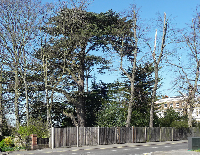 Cedar, Priory Lane
