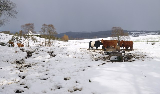 Cattle in the snow, by Achnacloich