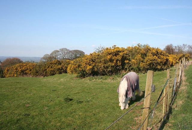 Horse and gorse near Raw Head