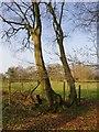 SU9393 : Hornbeams near Fagnall Lane by Stefan Czapski