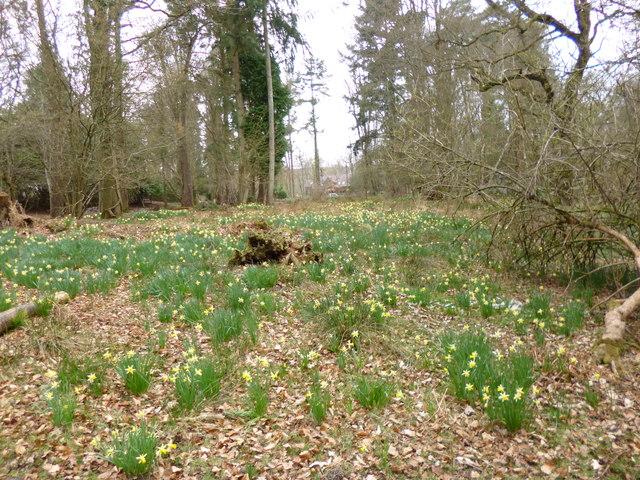 Linwood,  daffodils
