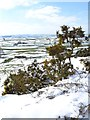 SK1977 : Gorse in the snow north of Foolow by Neil Theasby