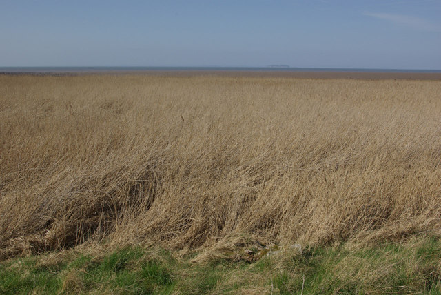 Reed bed - Bridgwater Bay