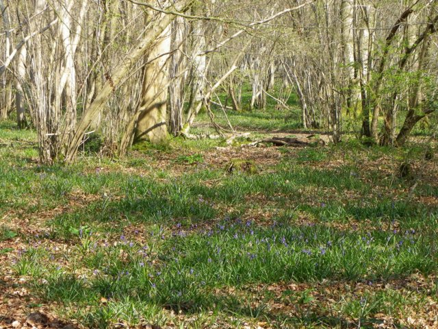 Early bluebells, Moody's Gore