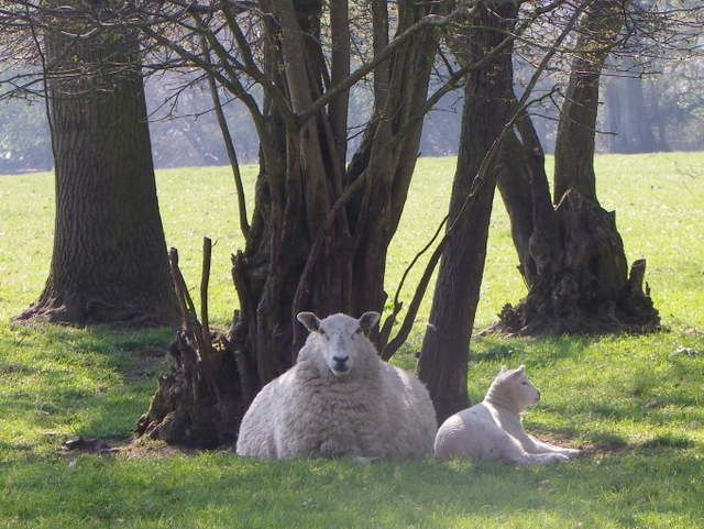 Ewe and lamb, Vernditch Lodge