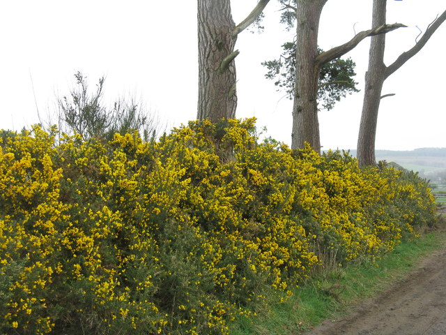 Gorse by the track from Sharplaw to Williescrook