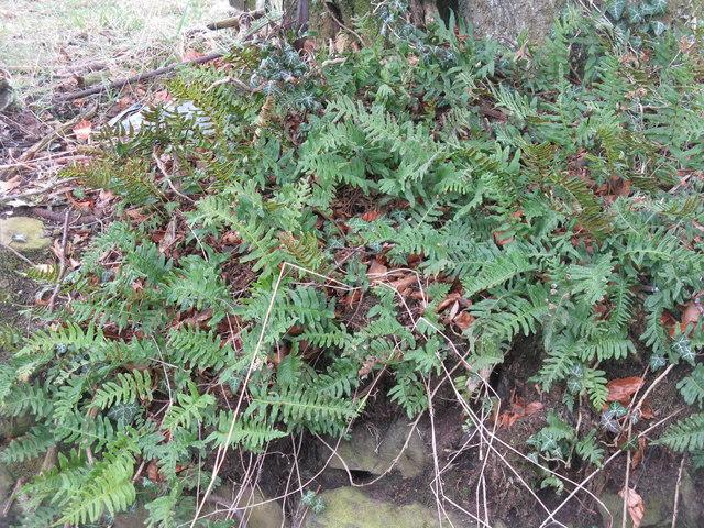 Polypody fern (Polypodium vulgare)