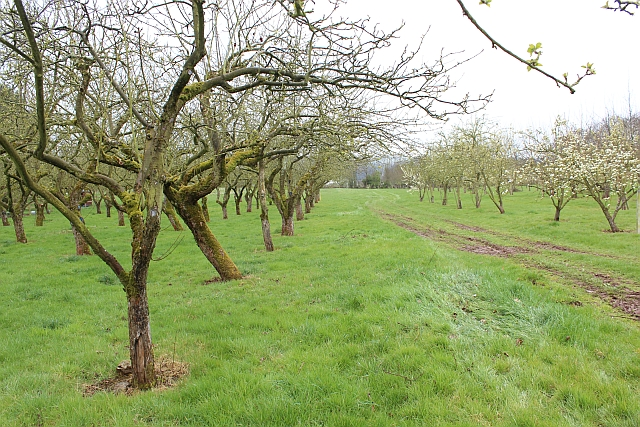 Orchard Croft orchard, Putley