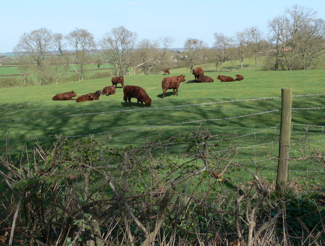 Grazing cattle near Gumley