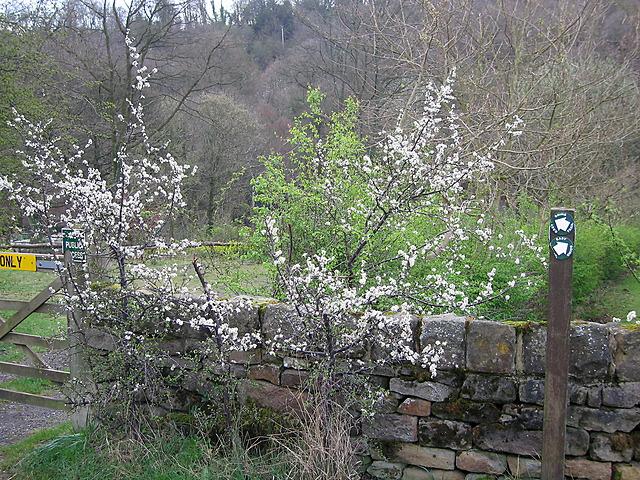 Hawthorn bush near Wisewood cemetery
