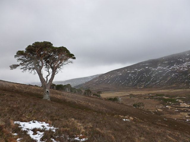 Scots Pine on the slope above the eastern side of Glen Derry