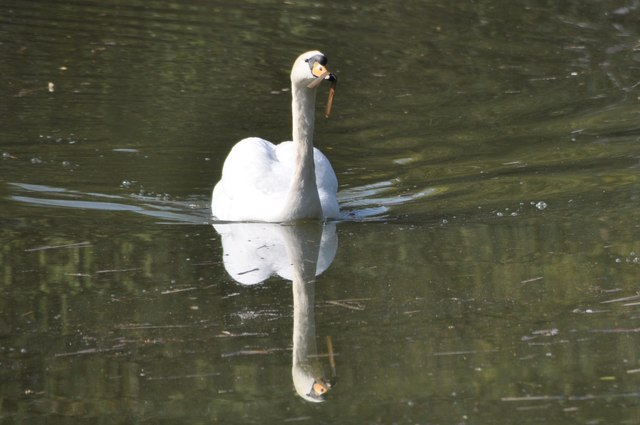 Tiverton : Grand Western Canal - A Swan