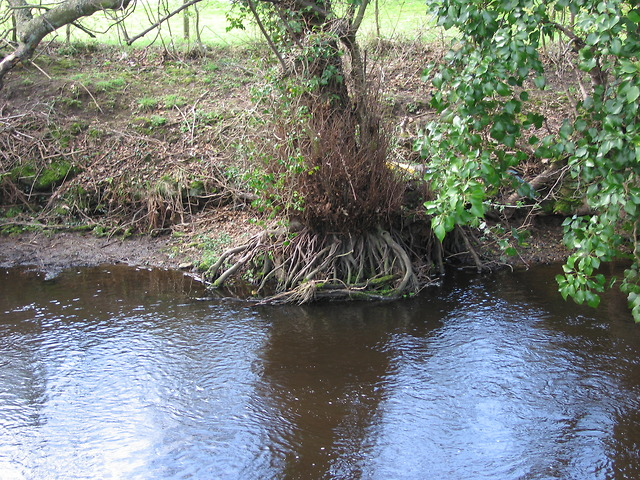 Alder roots in the river Loxley