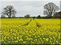 SE3842 : Tracks in an oilseed rape field by Christine Johnstone