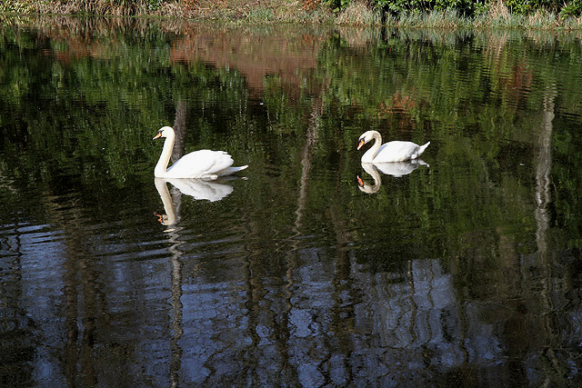 Two swans on Perch Pond