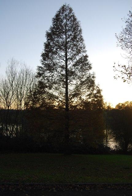 Tree, Mote Park