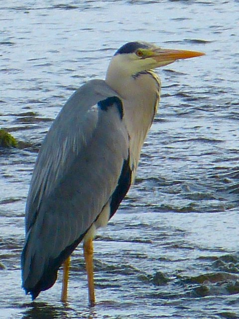 Heron on Kilfillan Burn