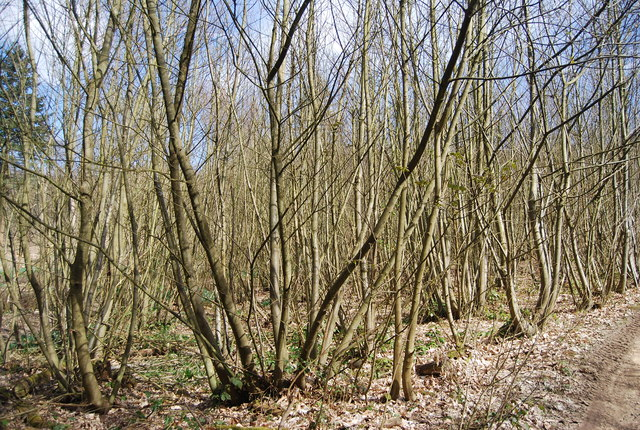 Coppicing, Hanger Wood