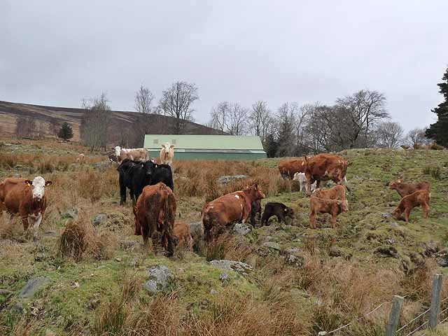 Cattle at Tarabuckle Farm