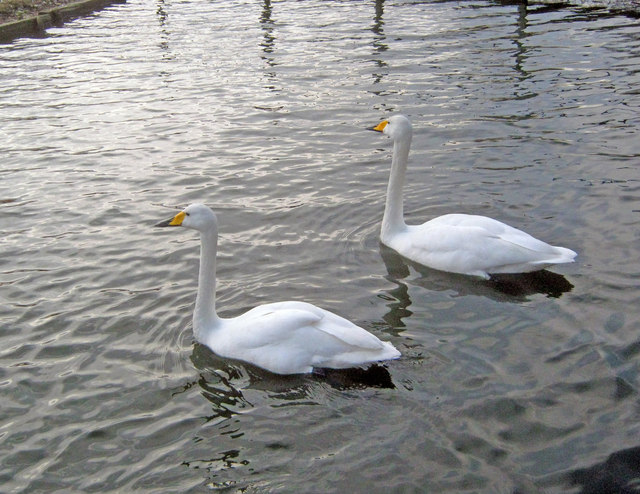 Whooper Swans at Whisby Garden Centre