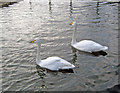 SK9267 : Whooper Swans at Whisby Garden Centre by Trevor Rickard