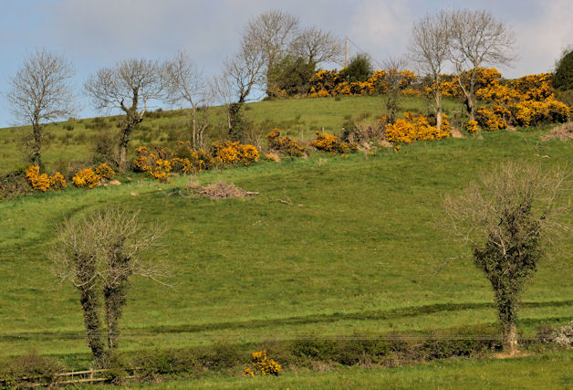 Whin bushes near Saintfield (1)