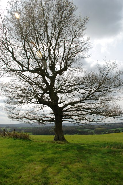Large tree near Chantlers Farm