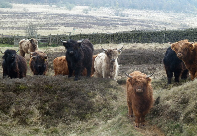 Cattle on open moorland